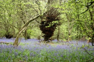 Bluebell time is here!